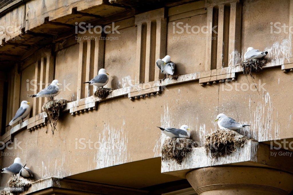 Kittiwakes take over the building stock photo