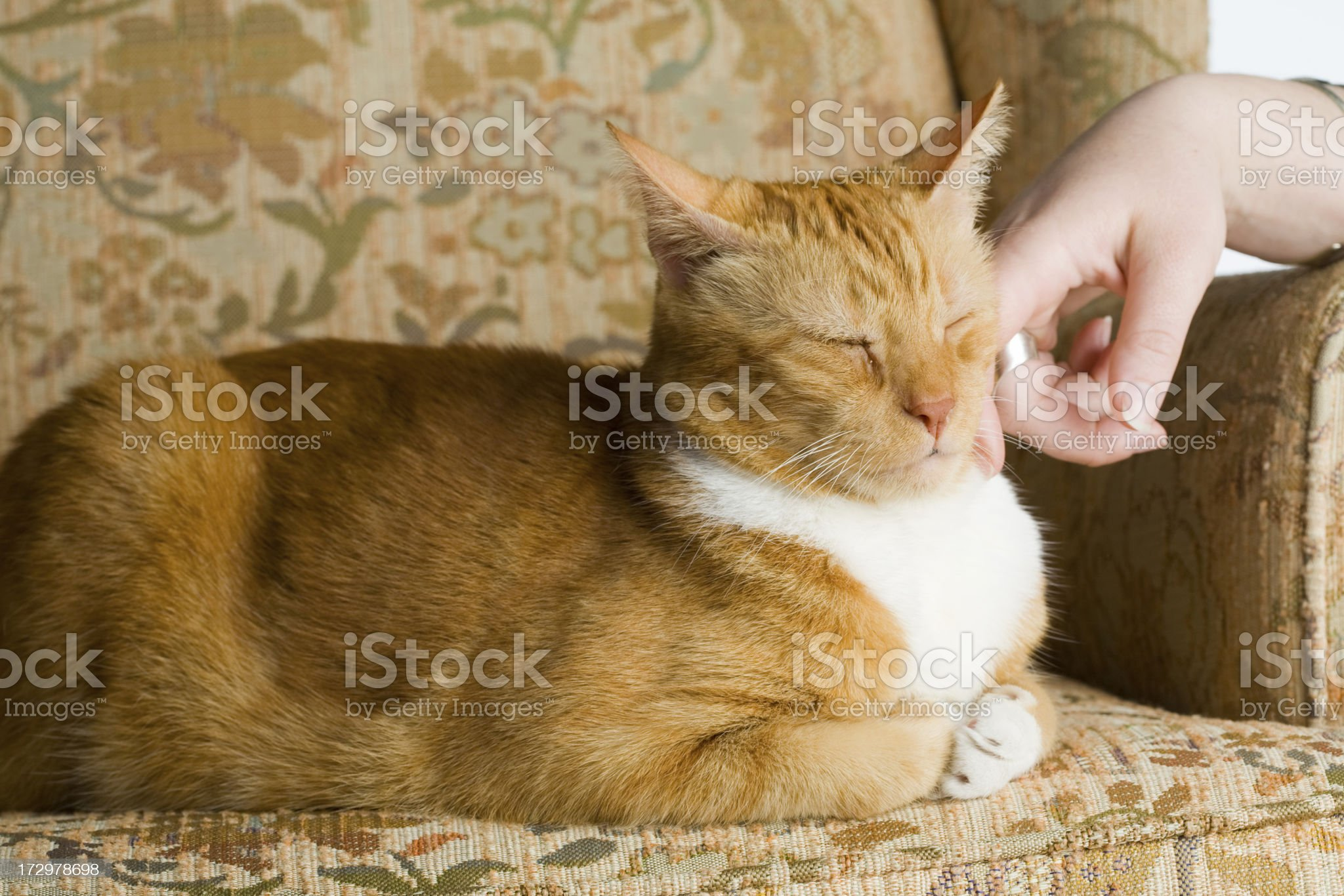 Kitty cat getting pet royalty-free stock photo