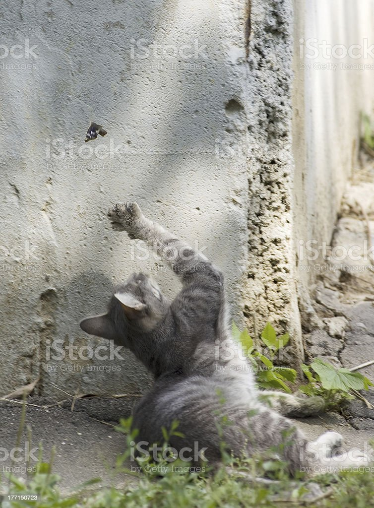 kitty cat watching a black butterfly royalty-free stock photo
