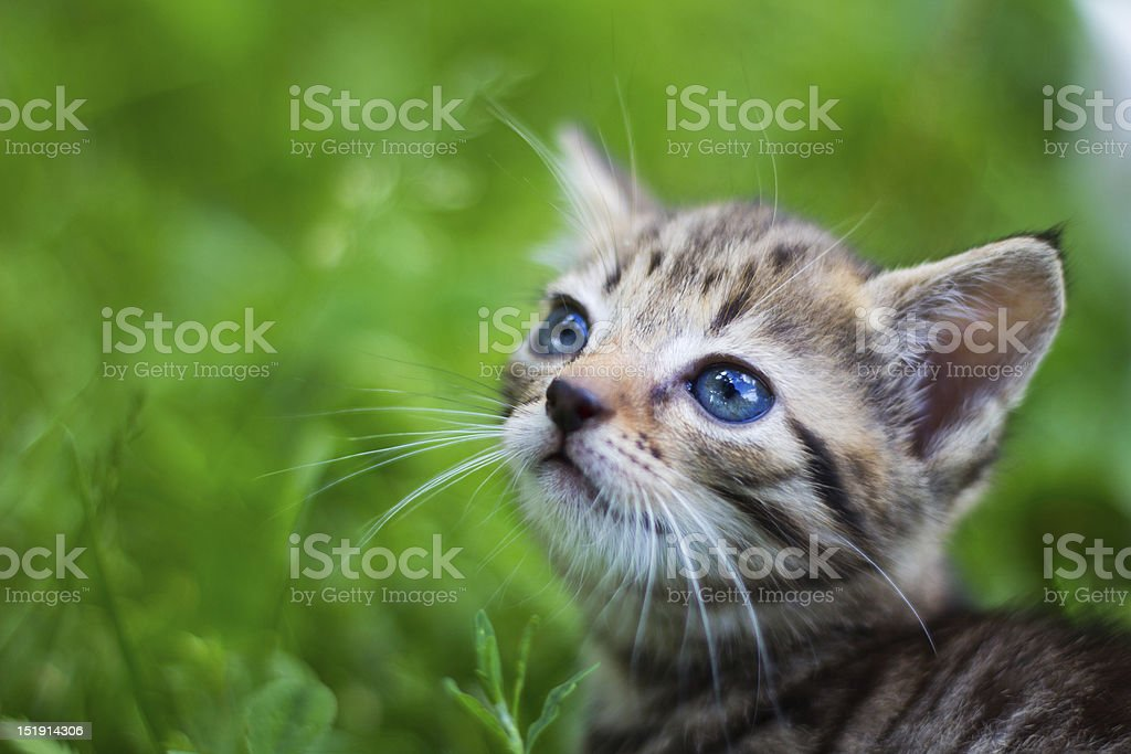 Kitty looking up in front of grass royalty-free stock photo