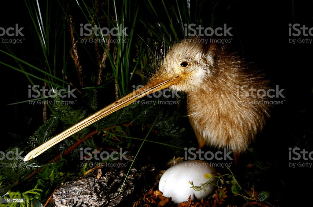 Kiwi bird and an egg stock photo