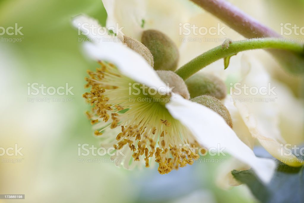 kiwi blossom stock photo