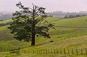 Kiwi bull