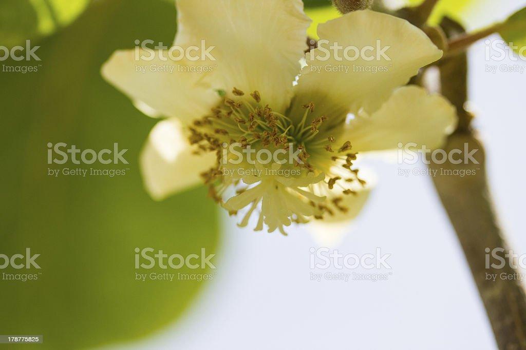 Kiwi flower royalty-free stock photo