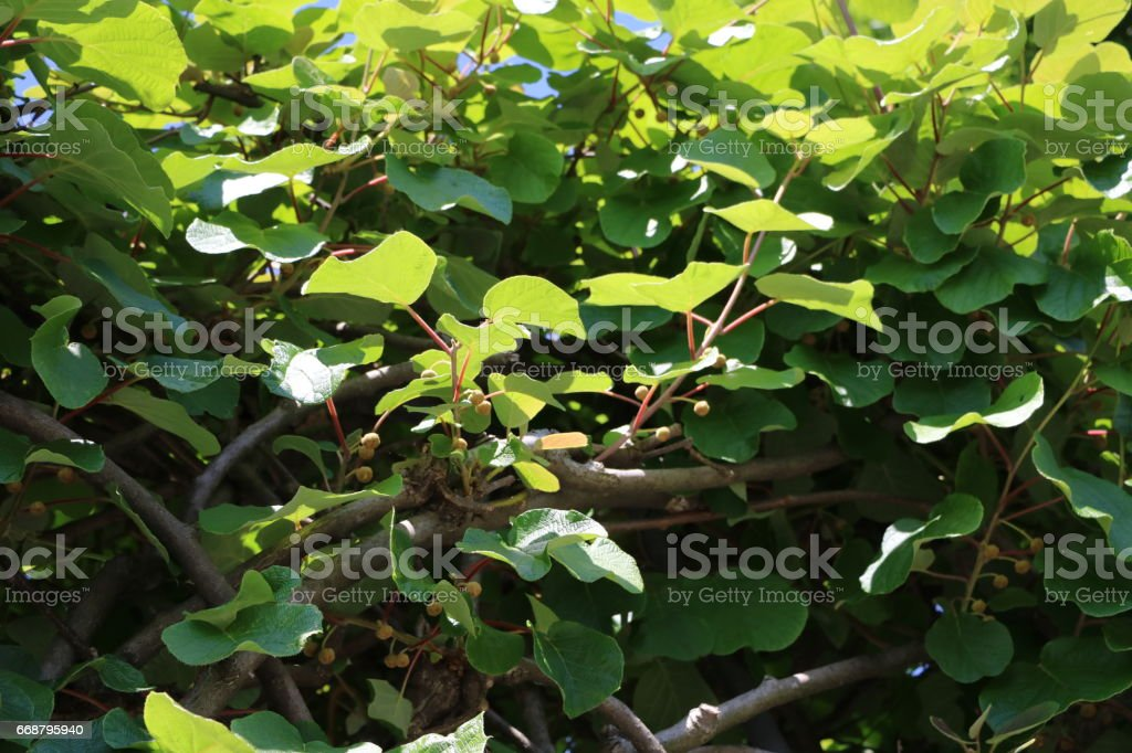 Kiwi flowers in spring, Italy stock photo