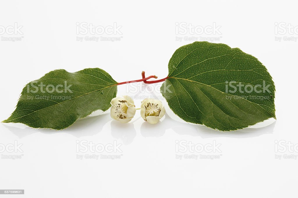 Kiwi (Actinidia) flowers stock photo