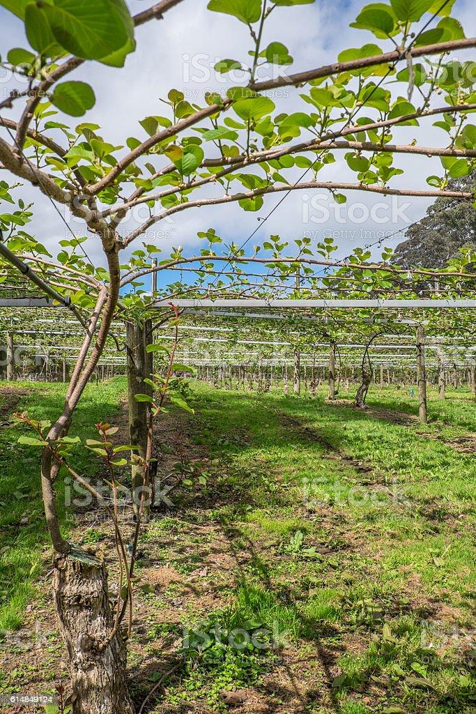 Kiwi fruit orchard in Kerikeri, New Zealand, NZ stock photo