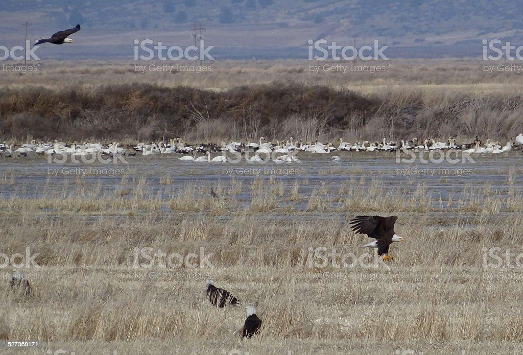 Klamath Bald Eagles Flying stock photo