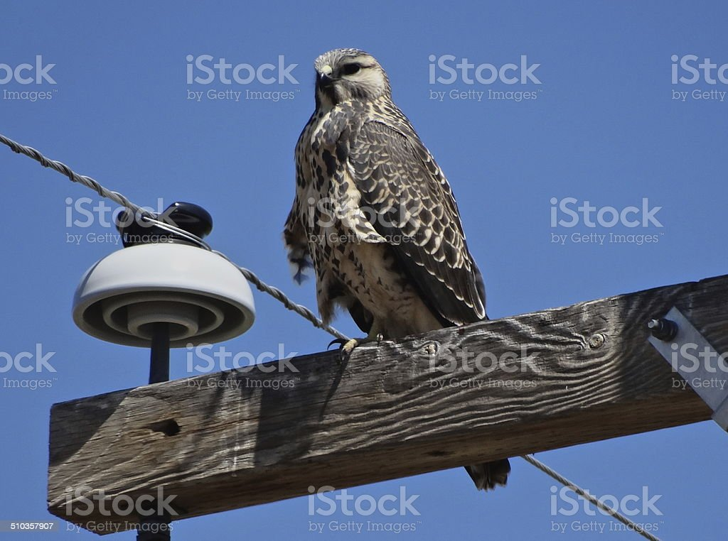 Klamath Basin X-Hawk stock photo