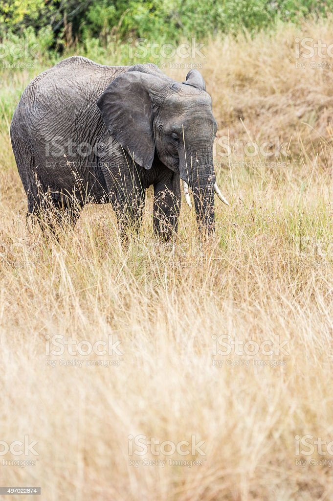 Kleiner Elefant stock photo