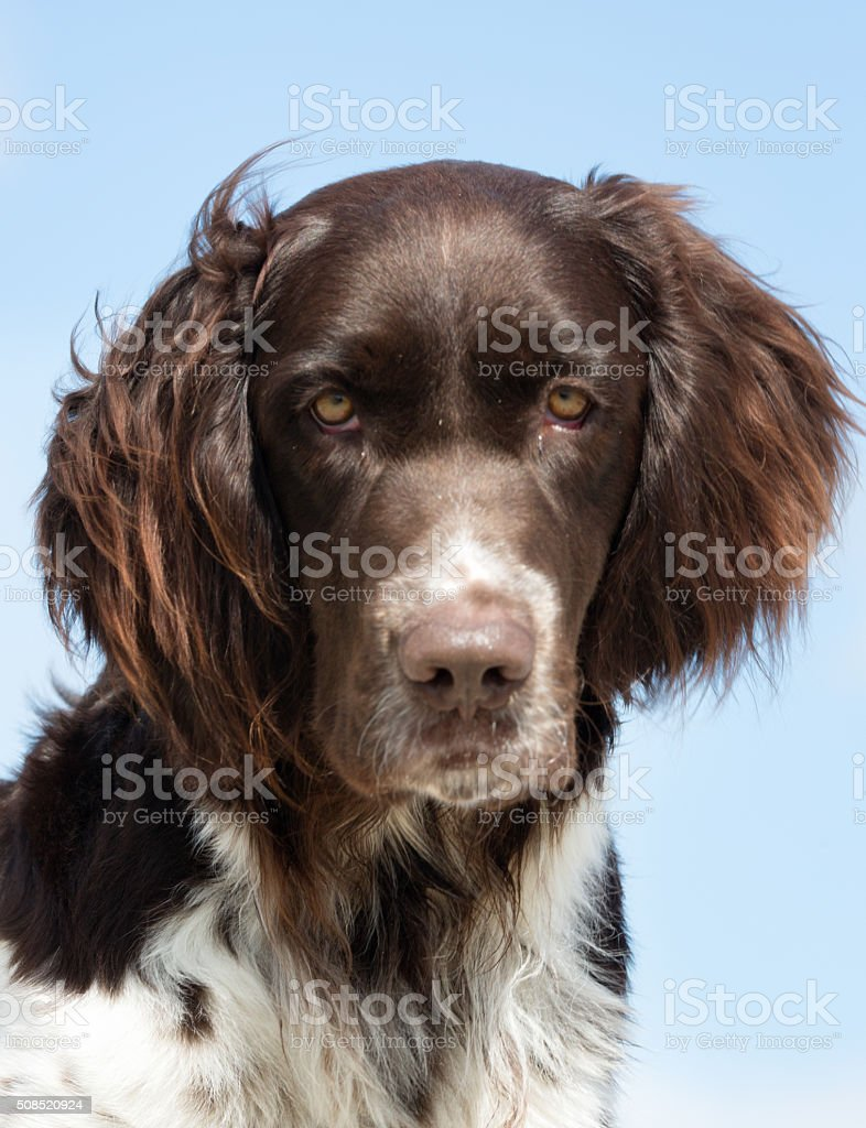 Kleiner Munsterlander dog outdoors in nature stock photo