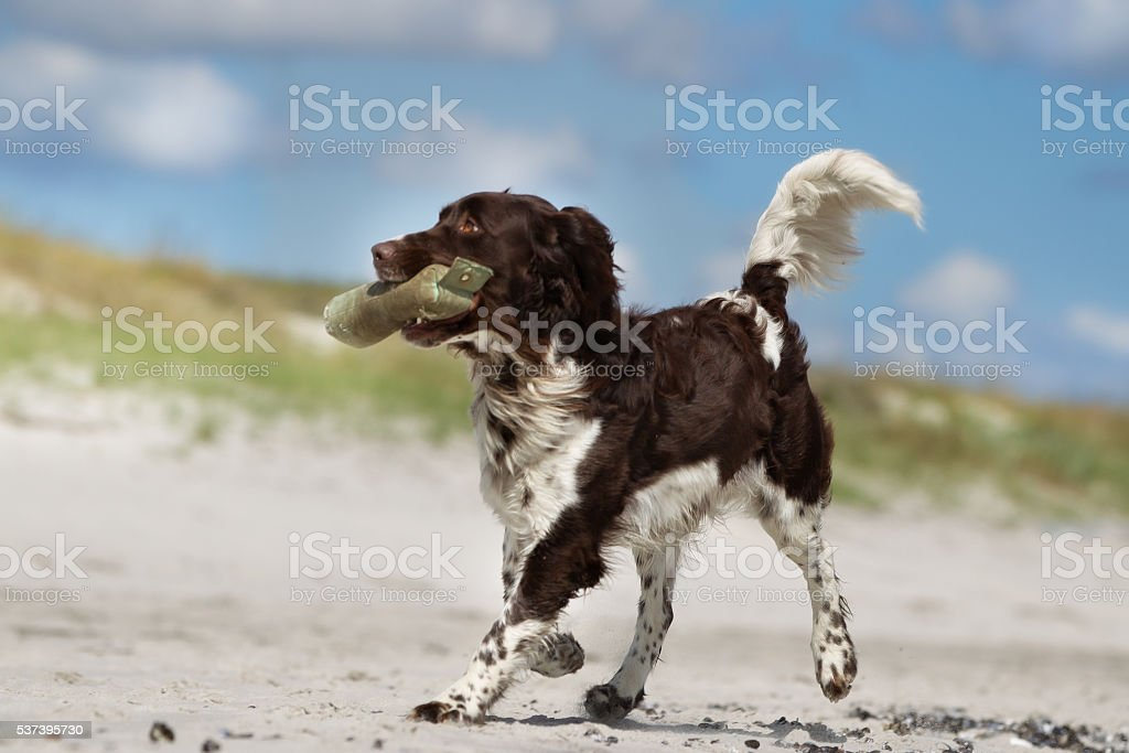 Kleiner Munsterlander dog outdoors in nature stock photo