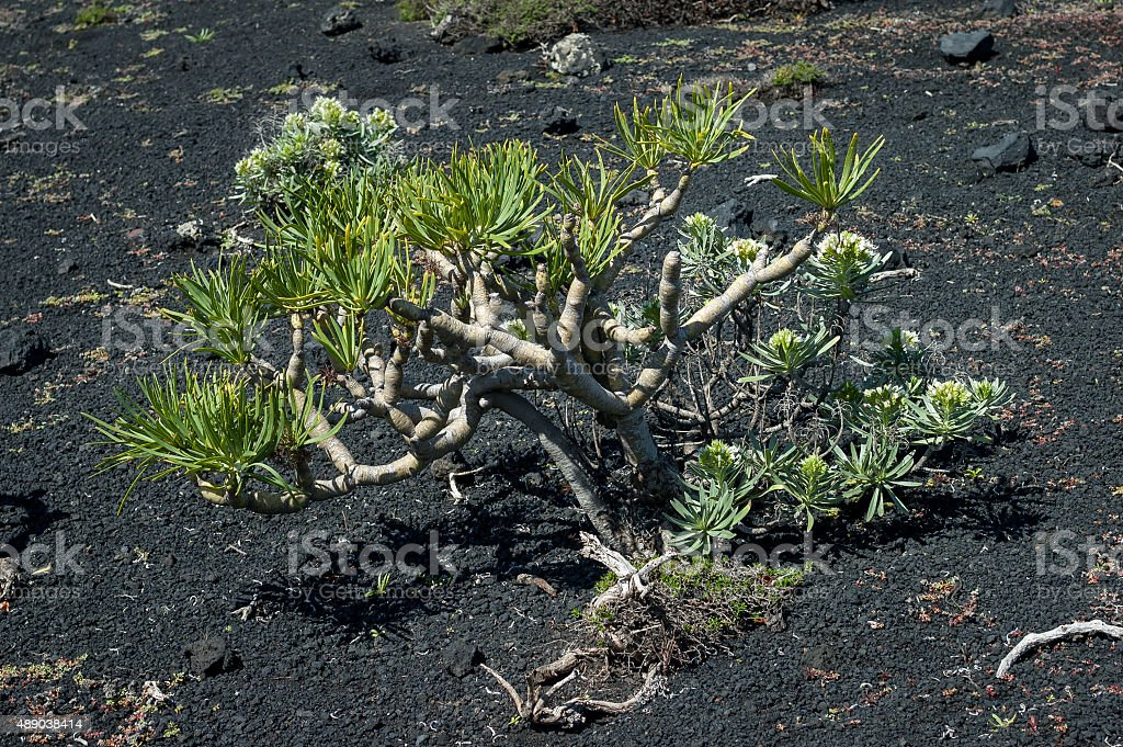 Kleinia neriifolia succulent plant stock photo