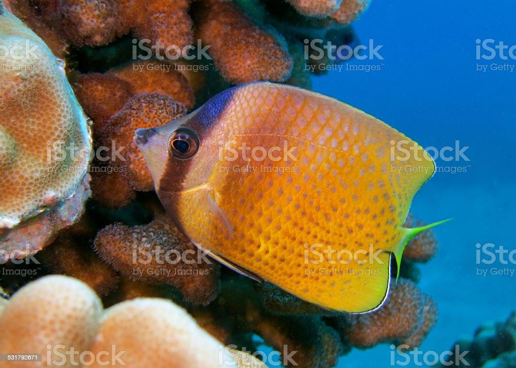 Klein's Butterflyfish stock photo