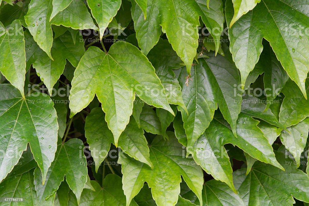 Kletterpflanze Wilder Wein - Virginia creeper royalty-free stock photo