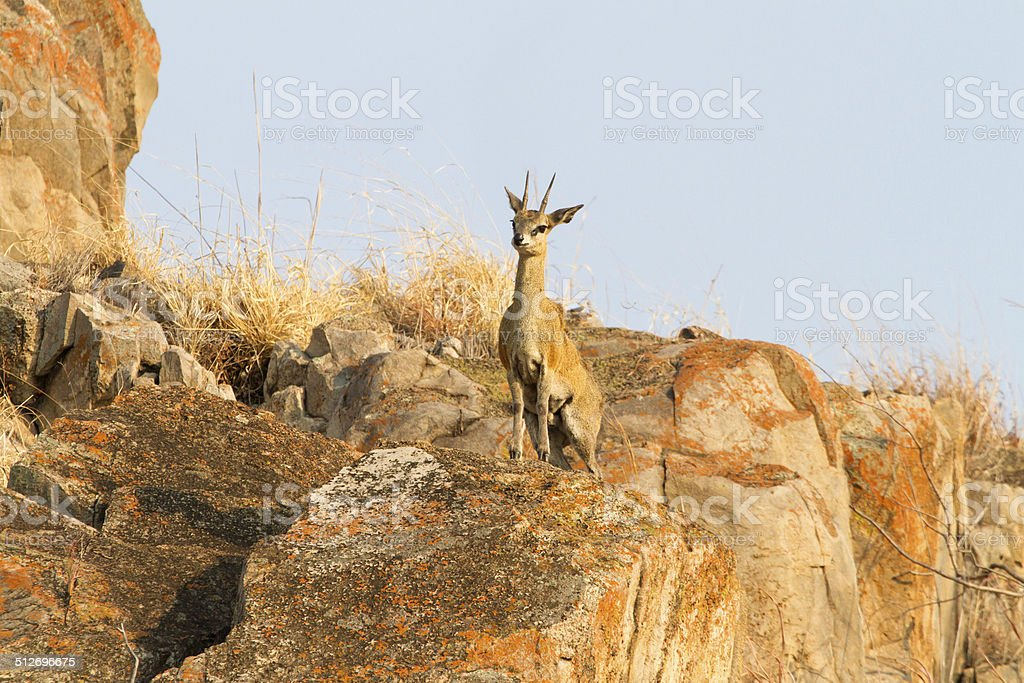 Klippspringer, Savuti National Park, Botswana stock photo