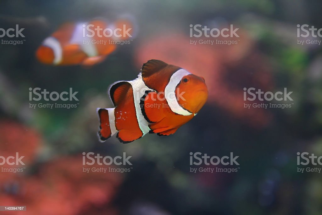 Klown - fish, Amphiprion,'Nemo' royalty-free stock photo
