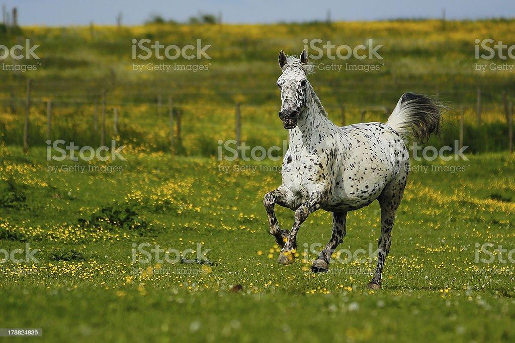 Knabstrupper - Horse stock photo