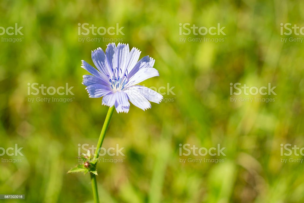 Knapweed flower close up in summer stock photo