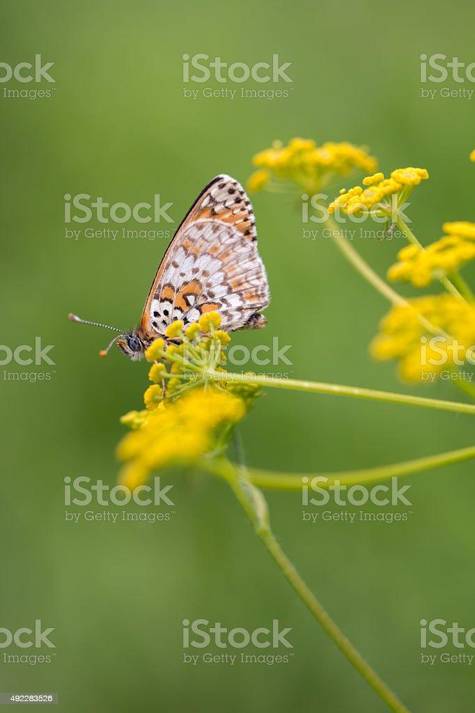 Knapweed mariposa fritilaria foto de stock libre de derechos
