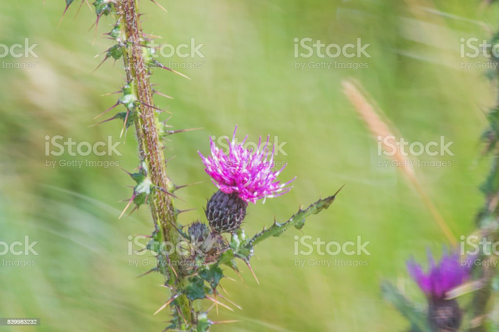 Knapweed stock photo