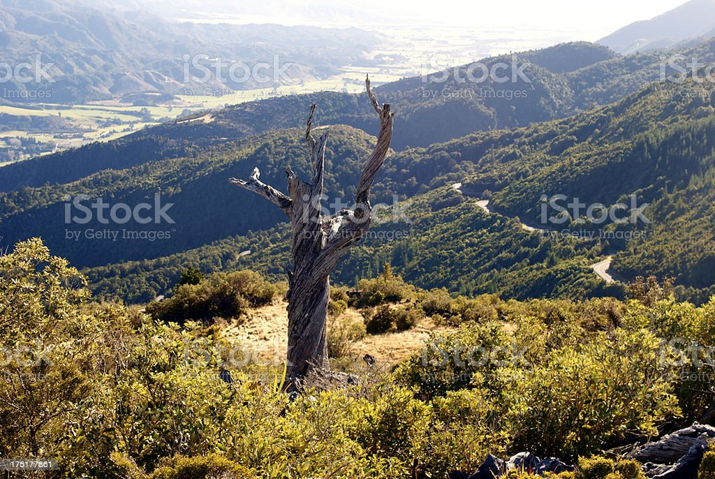 Knarled and Twisted Dead Podocarp Tree, Golden Bay stock photo