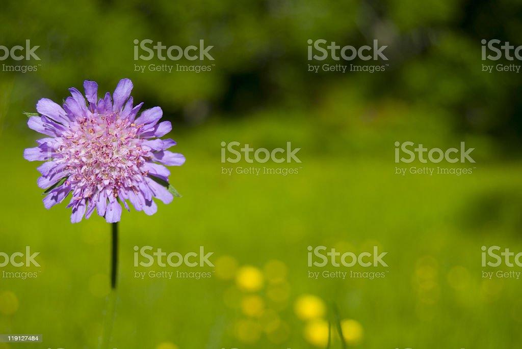 Knautia arvensis royalty-free stock photo