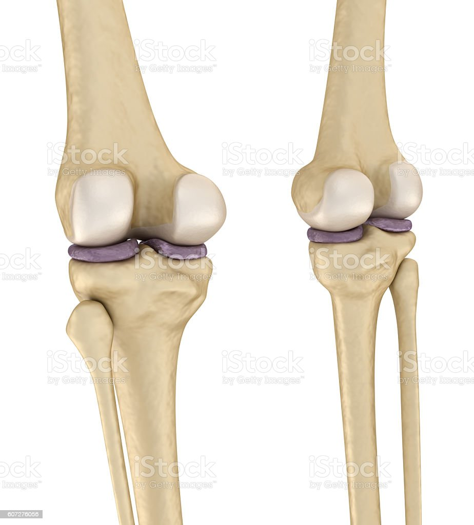 Knee anatomy. Isolated on white. Medically accurate 3D illustration stock photo