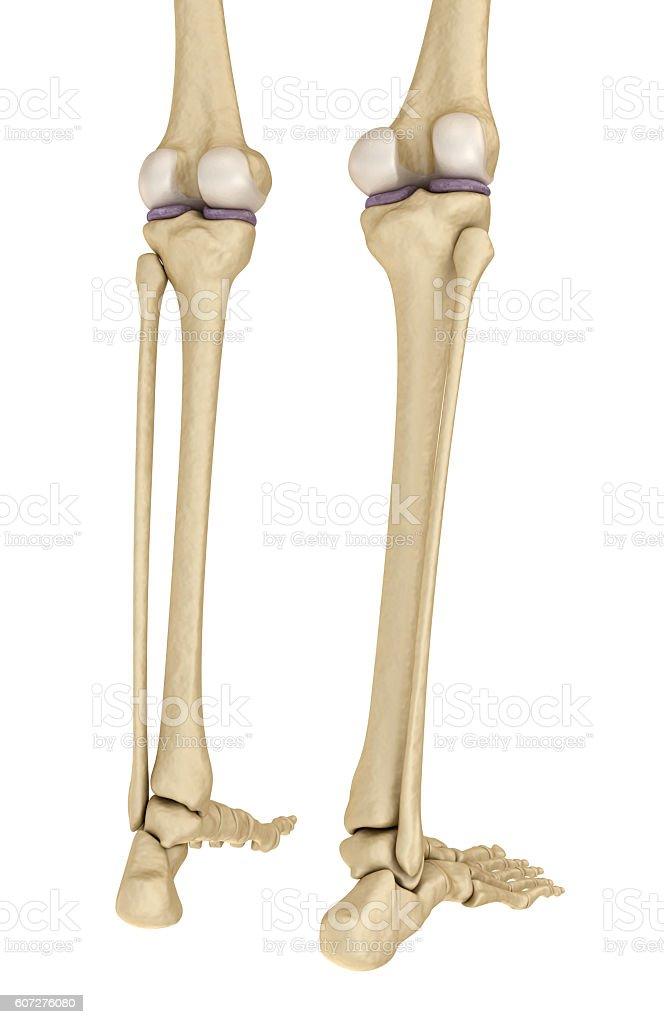 Knee anatomy. Isolated on white. stock photo