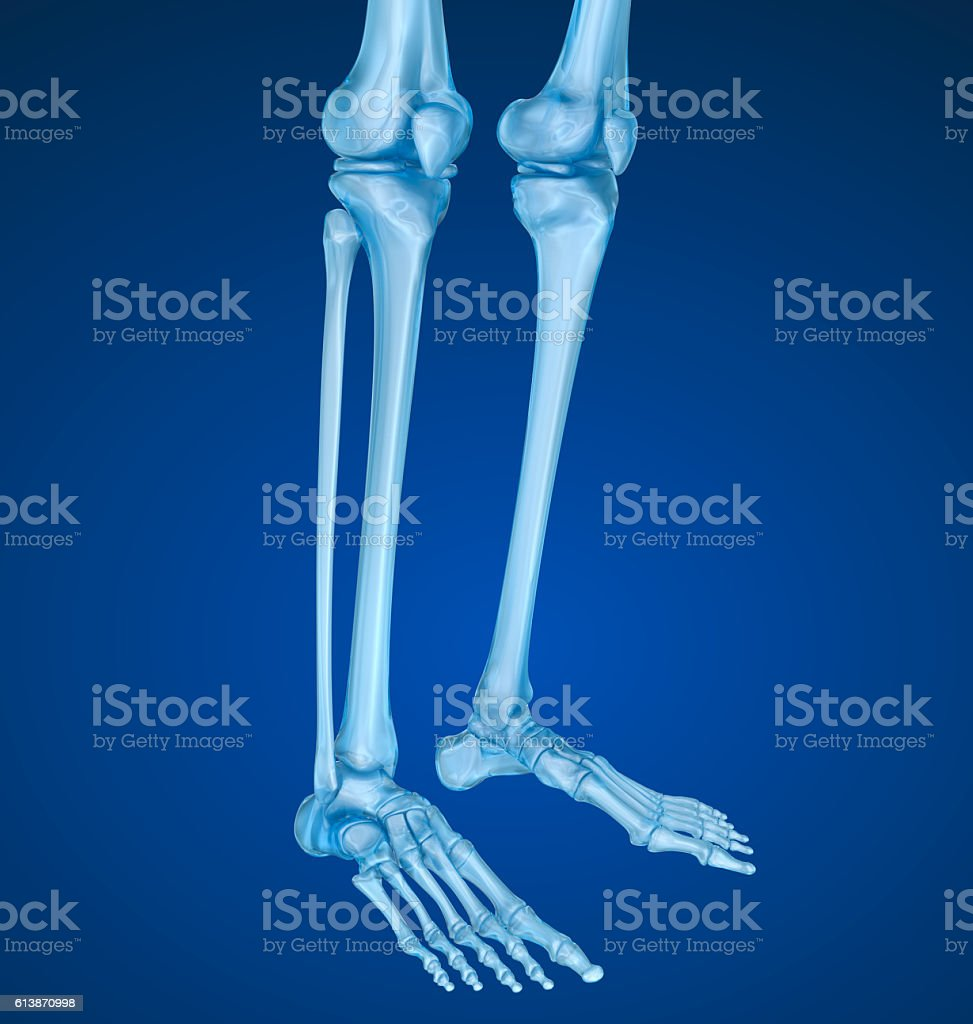 Knee anatomy. Xray view. Medically accurate 3D illustration stock photo