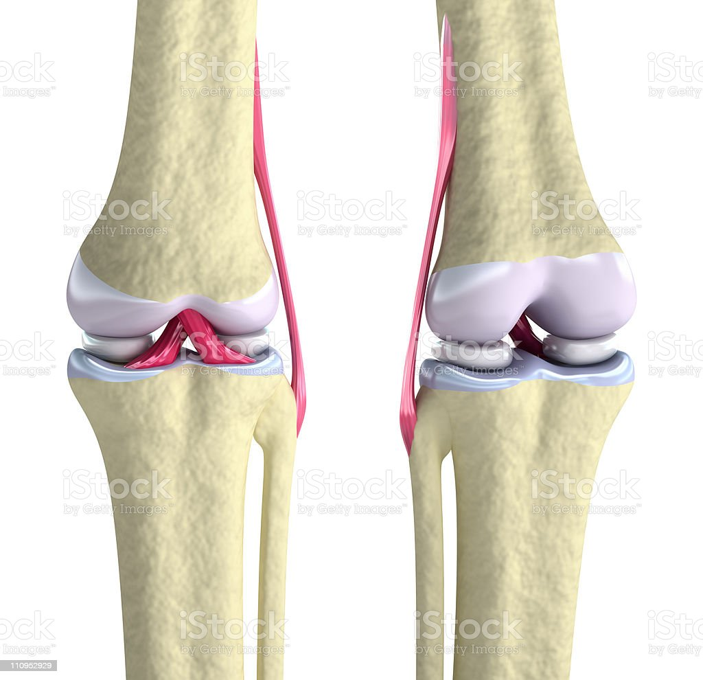 Knee joint with ligaments and cartilages stock photo