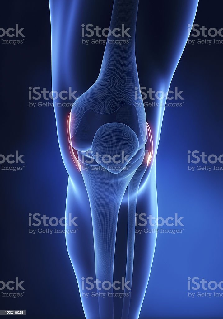 Knee ligament anatomy anterior view stock photo