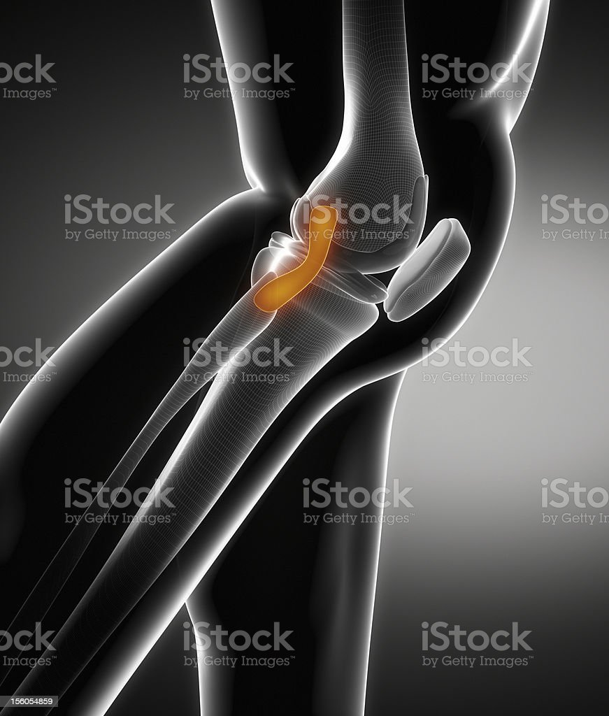 Knee ligament anatomy stock photo