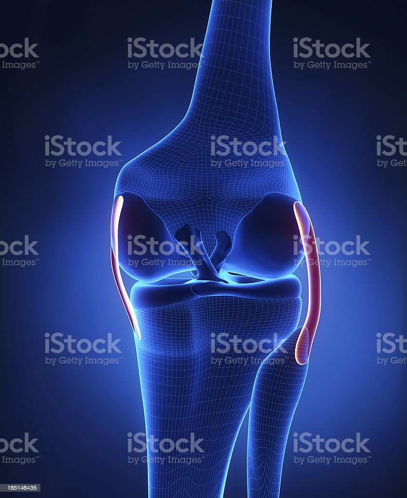 Knee ligaments anatomy stock photo
