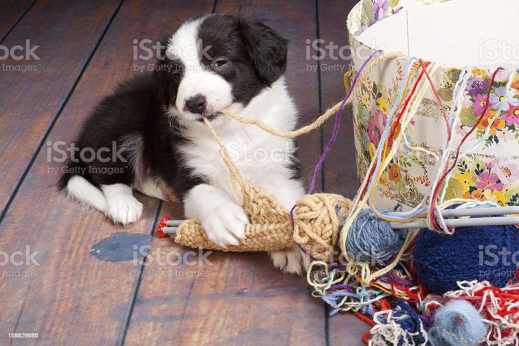 Knitting puppy royalty-free stock photo