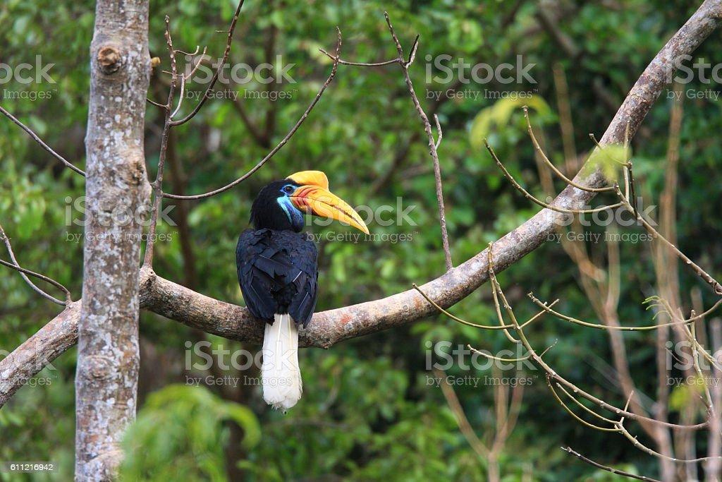 Knobbed Hornbill stock photo