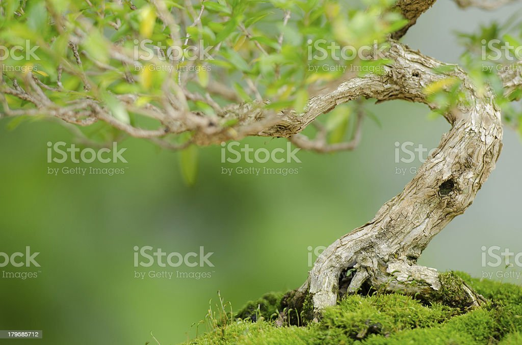 Knobby trunk of an old Snowrose Bonsai tree stock photo