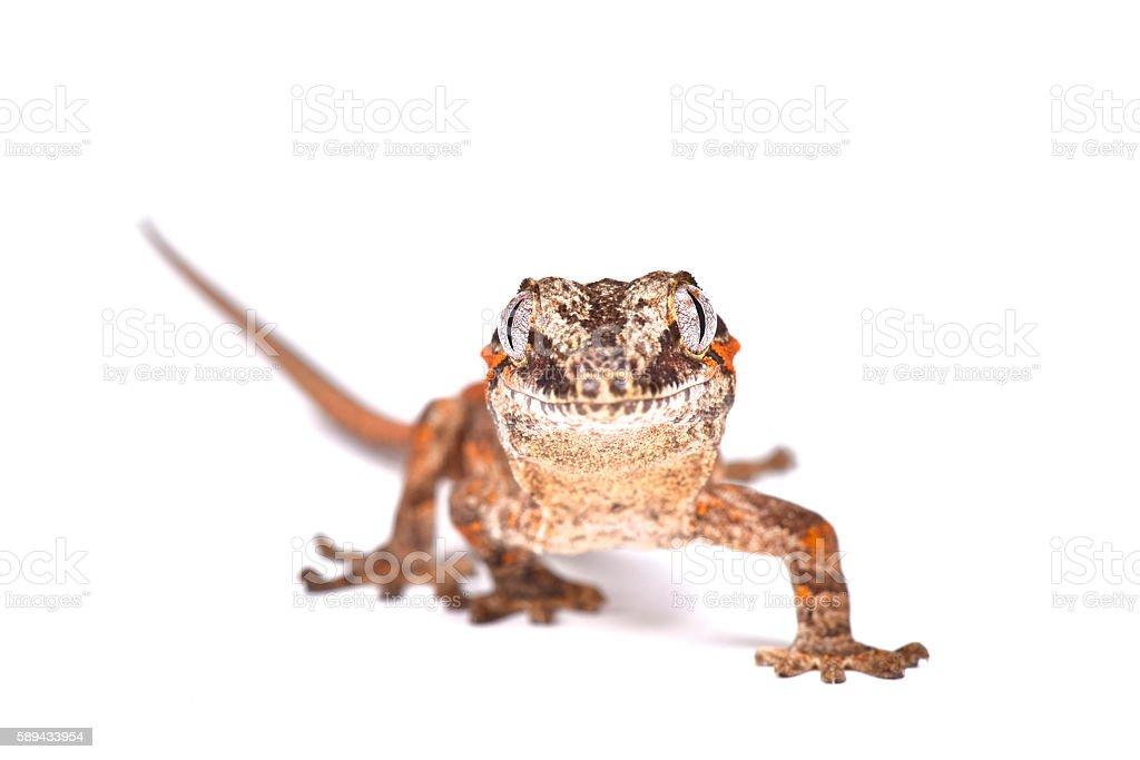 Knob-headed Giant Gecko (Rhacodactylus auriculatus) stock photo