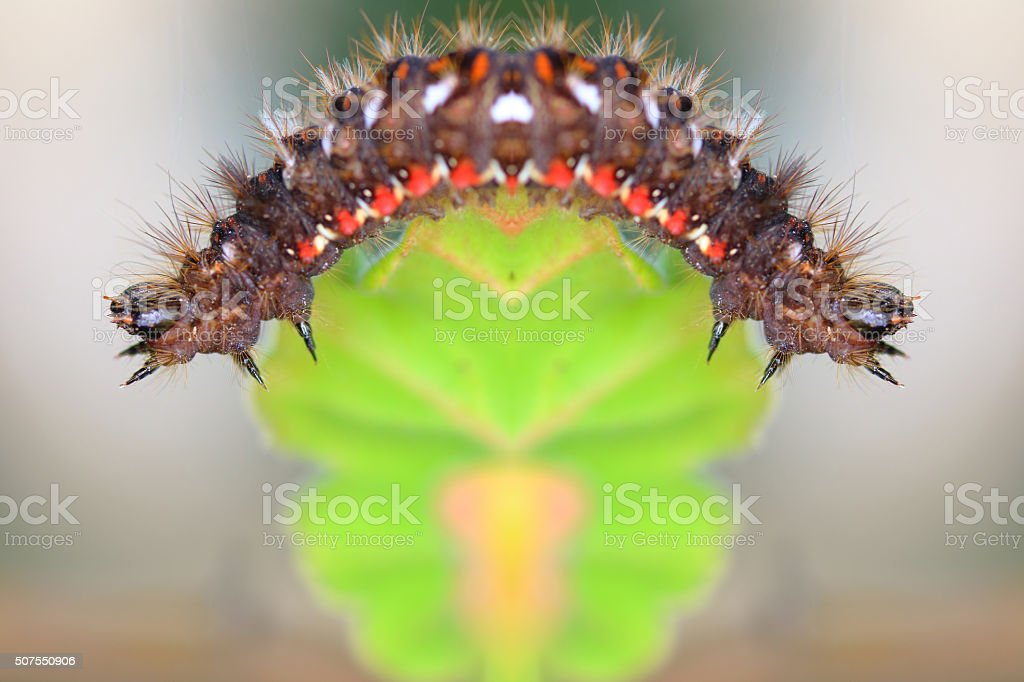 Knotgrass moths caterpillar insect surreal shaped symmetrical composite stock photo