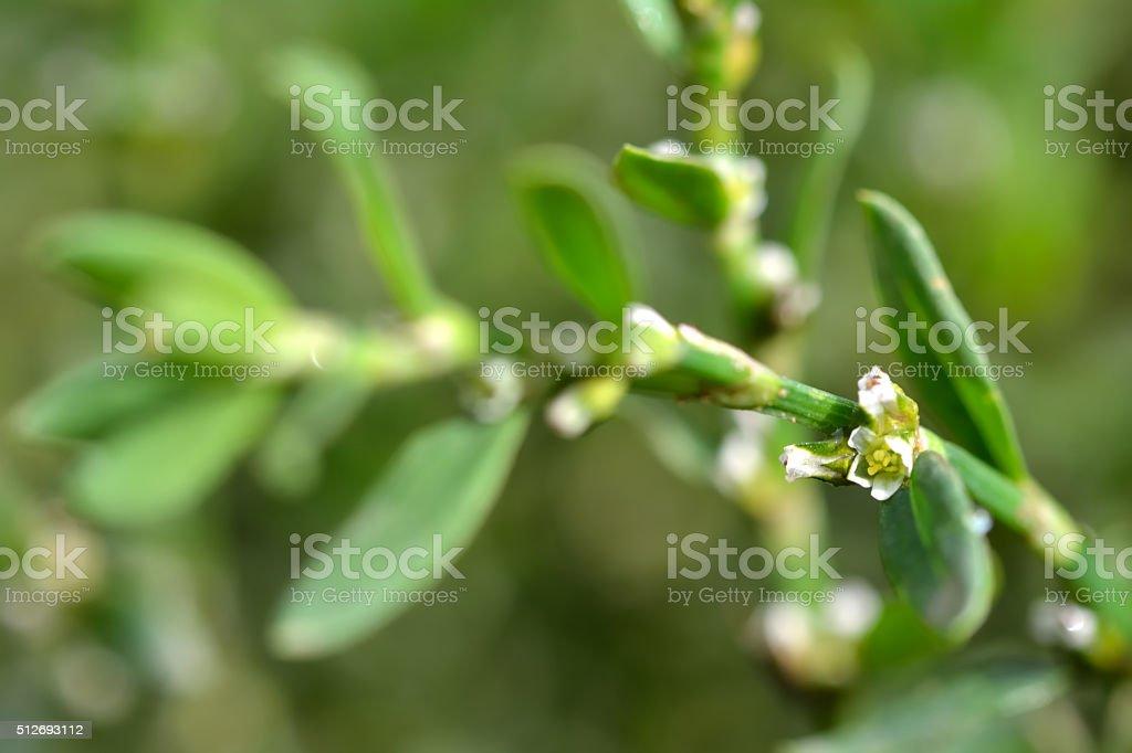 Knotgrass (Polygonum aviculare) stock photo