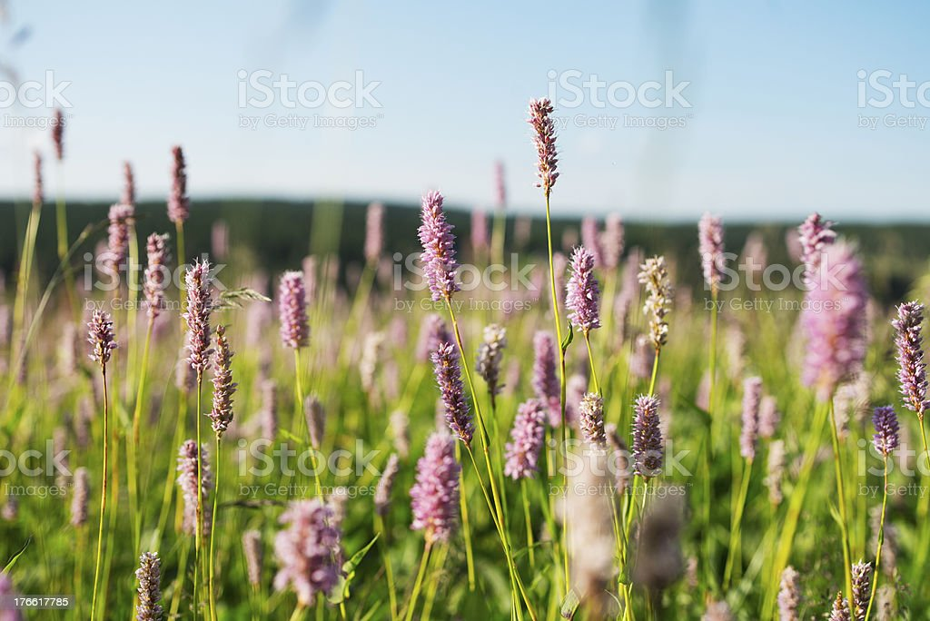 Knotweed meadow in summer stock photo