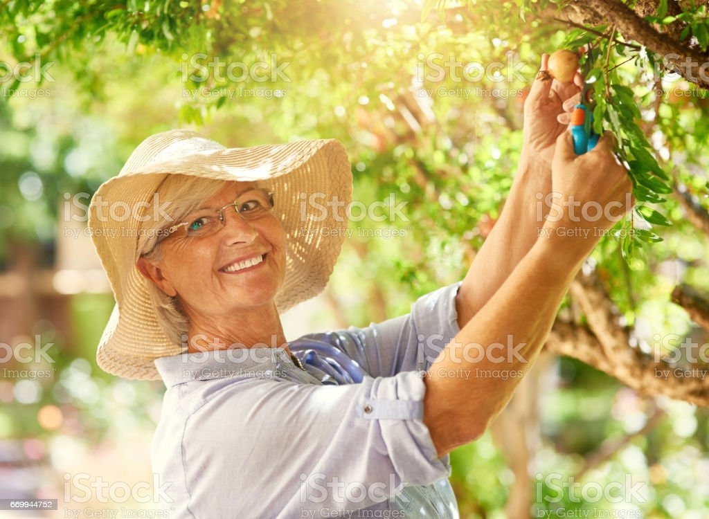 I know the secret to growing great pomegranates stock photo