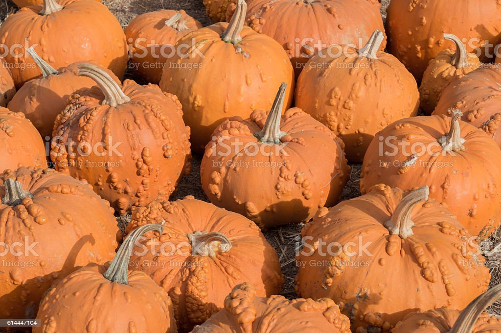 KnuckleHead Pumpkins in a Pumpkin Patch in Northern California stock photo