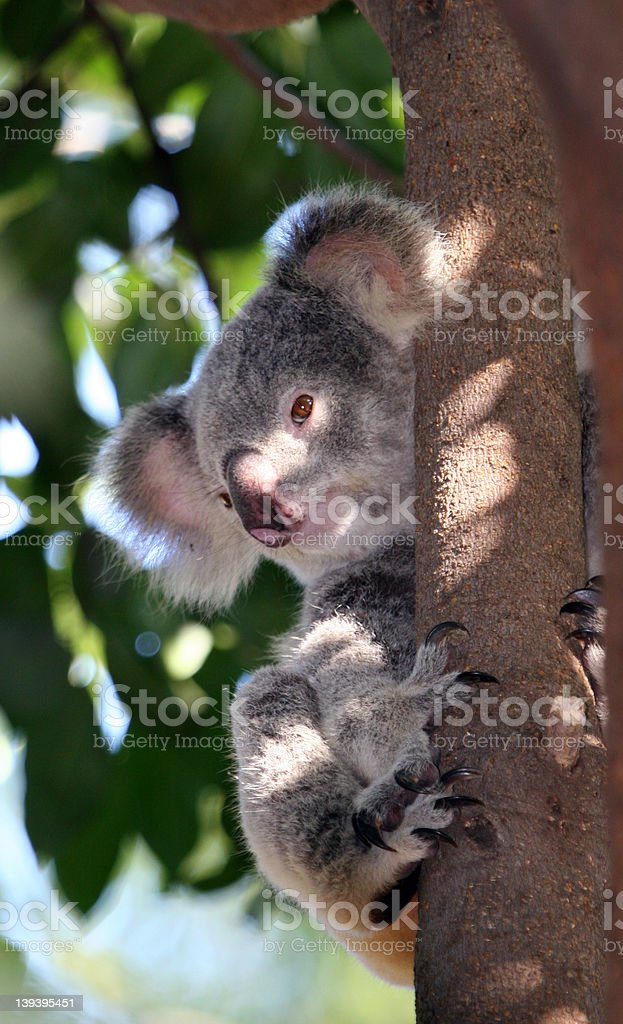 Koala 1 royalty-free stock photo