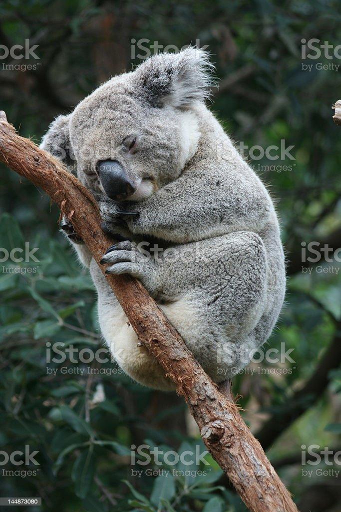 Koala 2 royalty-free stock photo