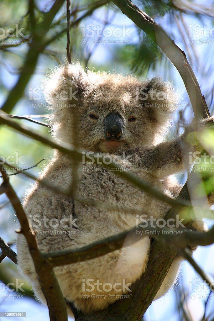 Koala 3 royalty-free stock photo