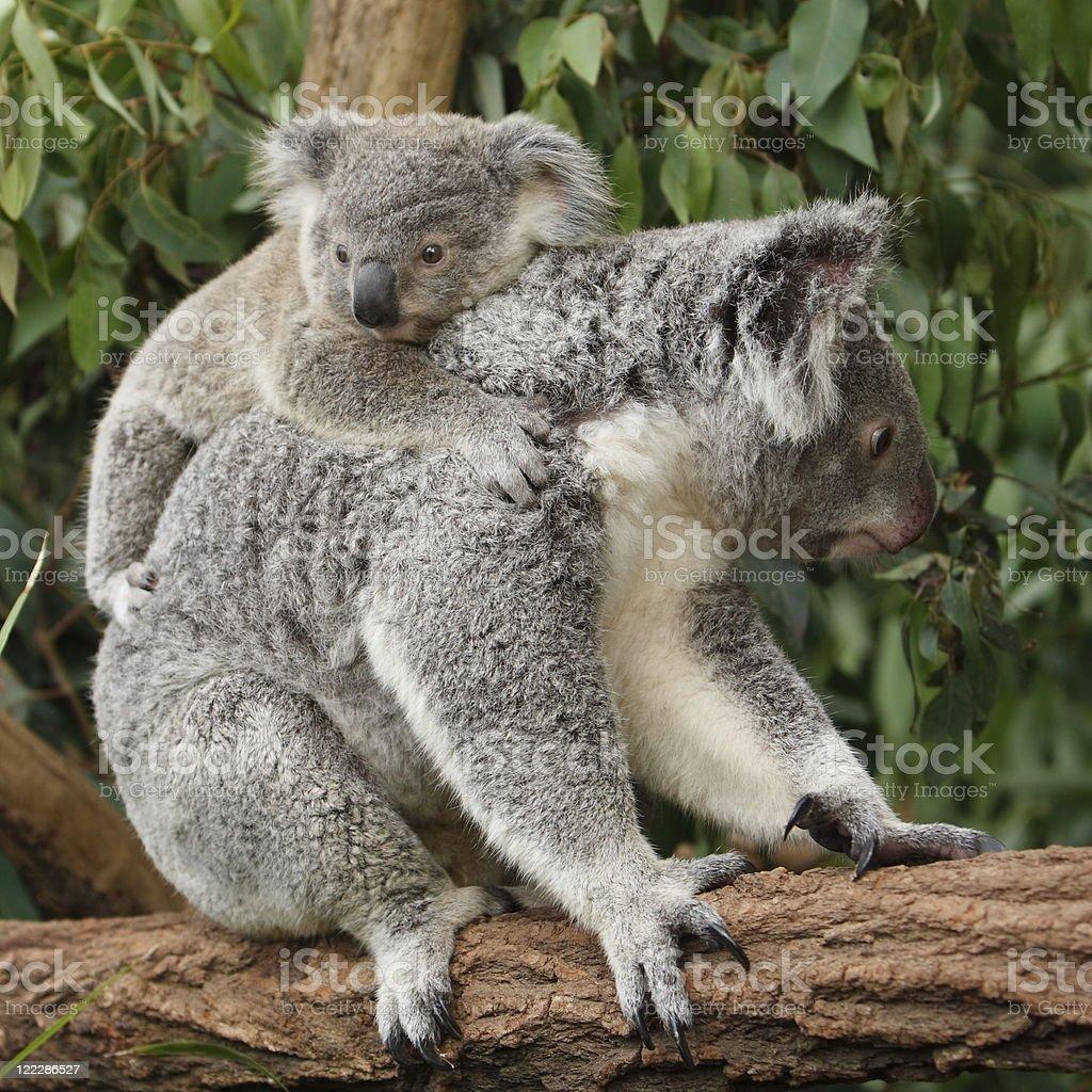 Koala and Baby royalty-free stock photo