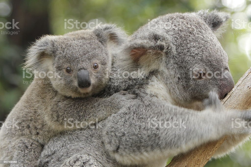 Koala and Baby royalty-free stock photo