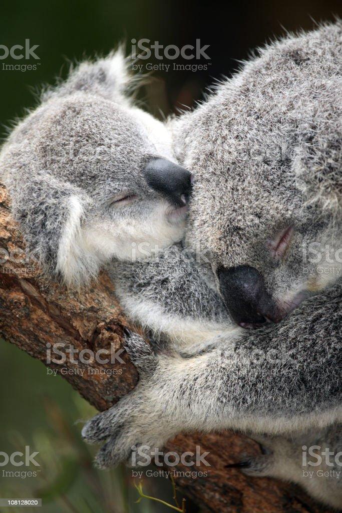 Koala and infant royalty-free stock photo