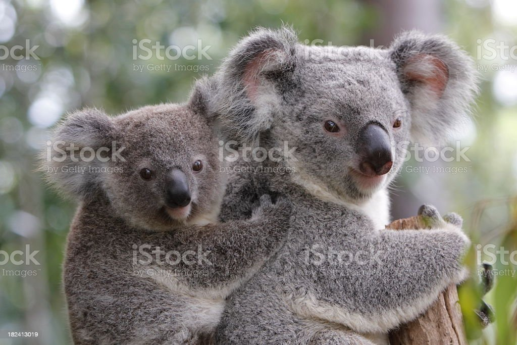 Koala and Joey stock photo